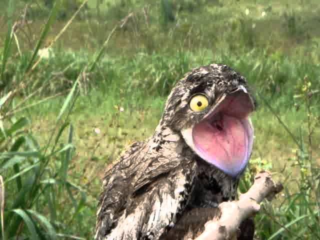 com vocês: o pássaro Urutau :>